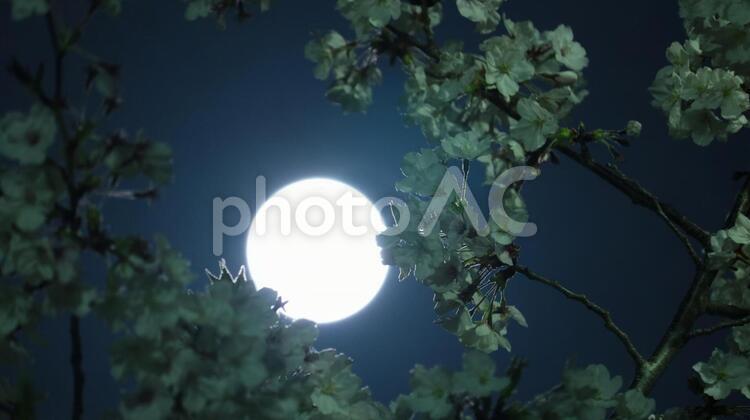 スーパームーン 月明かりに照らされる夜桜のクローズアップの写真