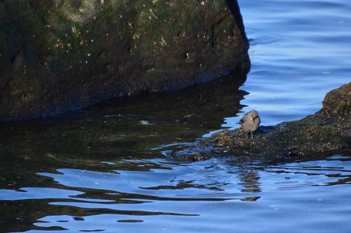 藍色的鵝口瘡,棲息在海灘上的一塊岩石上