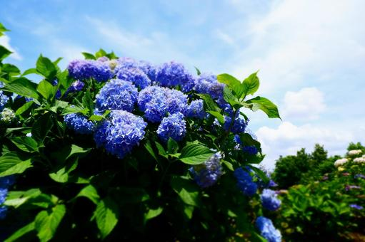Blue hydrangea that shines in the blue sky