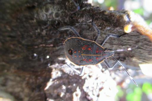 Yellow spotted stink bug larva