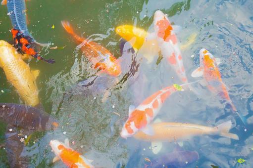 Nishikigoi in the spring pond