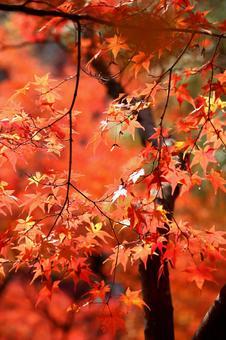 Autumn leaves at Tofukuji Temple, Kyoto