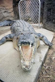 Crocodile at the Australian Zoo