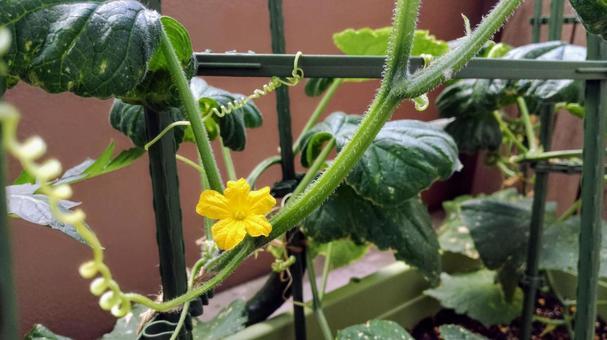오이 꽃 화분 재배 베란다 채소밭 텃밭 여름 야채