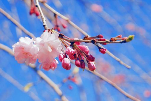 벚꽃 핀다. ~ 봄 ~