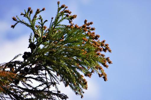 Looking up at cedar pollen