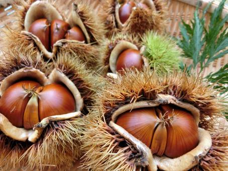 Chestnut with iga 22