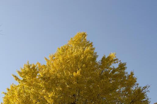Gingko tree 5