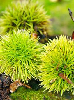 푸른 밤 毬 (이가) 식물 · 과일]