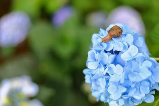 繡球花和蝸牛3