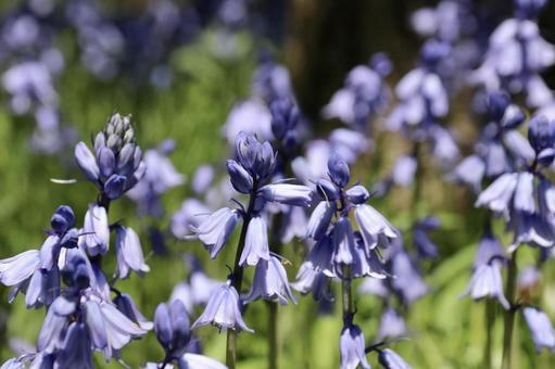 블루 벨 꽃 3
