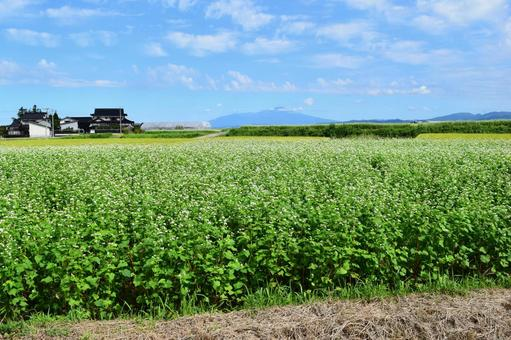 白い花 蕎麦畑