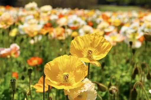 양귀비 꽃 9