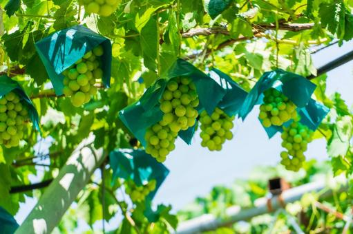 Grape hunting Shine Muscat (Grape hunting 22)