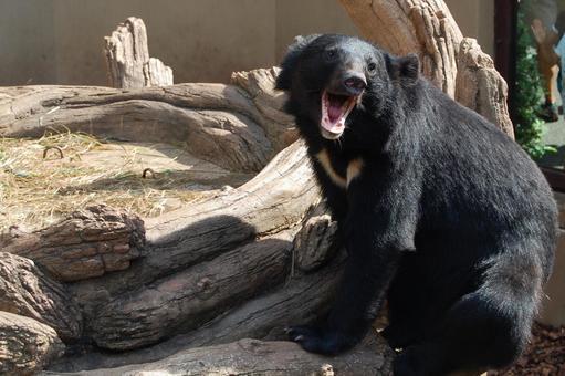 Asian black bears