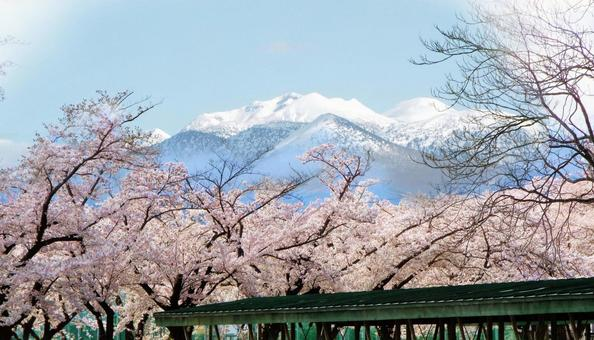 Hakkoda mountain range with remaining snow and cherry blossoms in full bloom