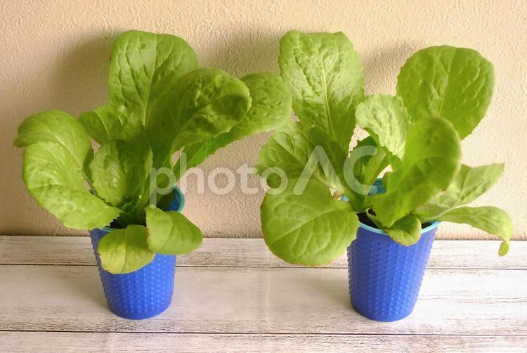 水耕栽培のロメインレタスの写真