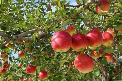 사과 나무 4