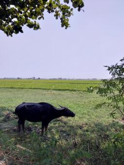 Vietnam Hoi An buffalo silhouette