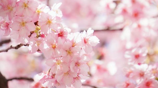 Beautiful full bloom Kawazu cherry blossoms Pink cherry blossoms Cherry blossom background