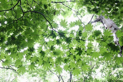 Fresh green of maple