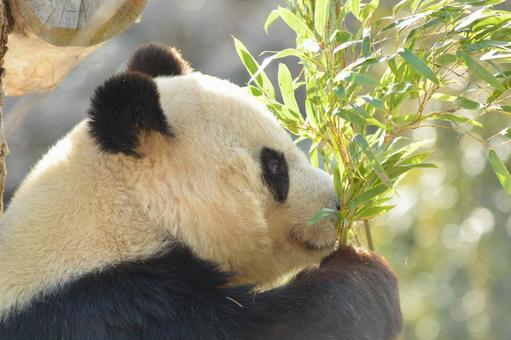 Giant Panda of Profile 11