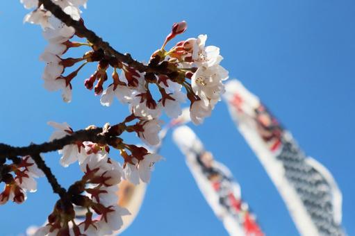 봄 풍경 사쿠라와 잉어