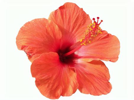 Hibiscus clipping masked 01
