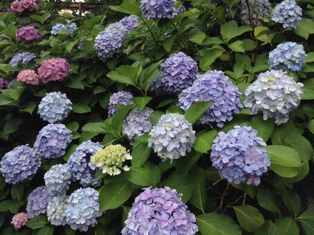 Hydrangea 1 blue and purple