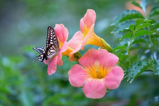 식사중인 호랑 나비