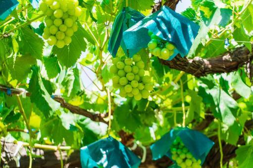 Grape hunting Shine Muscat (Grape hunting 23)