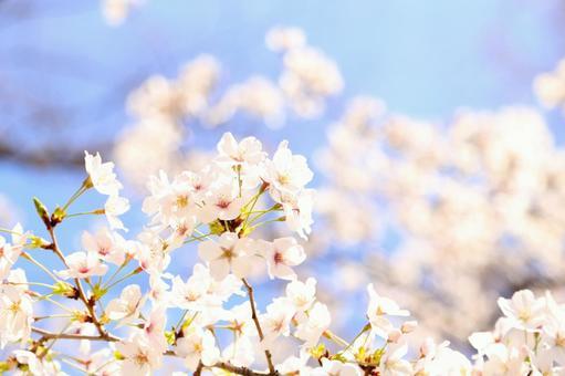 만개 한 벚꽃 22