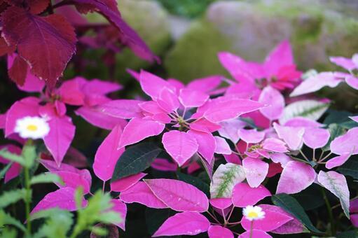 분홍색 포인세티아