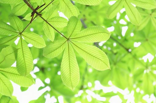 Horse Chestnut Fresh green leaves Tochinogi