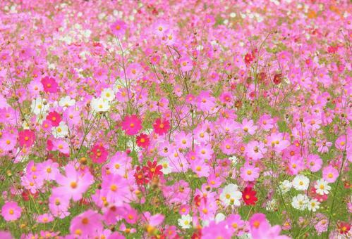 Autumn cherry blossom garden