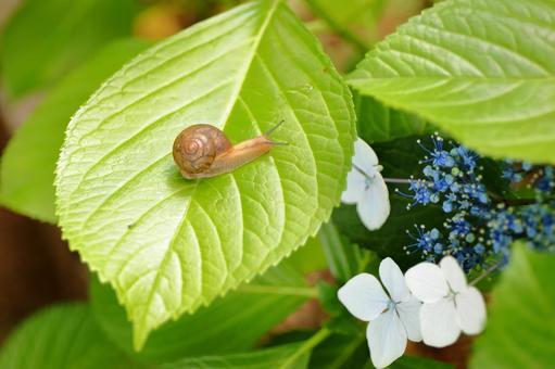 繡球花和蝸牛4