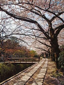 Cherry blossoms and the path of philosophy