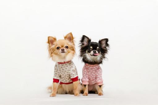 Chihuahua in clothes