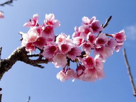 오키나와의 추위 緋桜