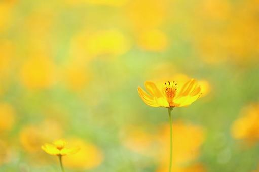 Kibana Cosmos yellow flower autumn cherry blossom cute yellow flower