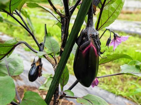[밭] 가지 재배 가지 수확 이루는 과다 음식 텃밭 6 월 자연 식물 풍경