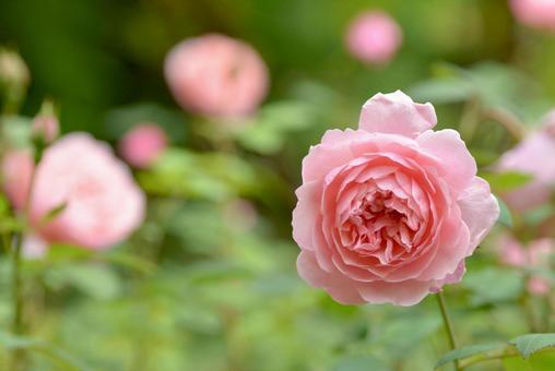 핑크 잉글리쉬 로즈