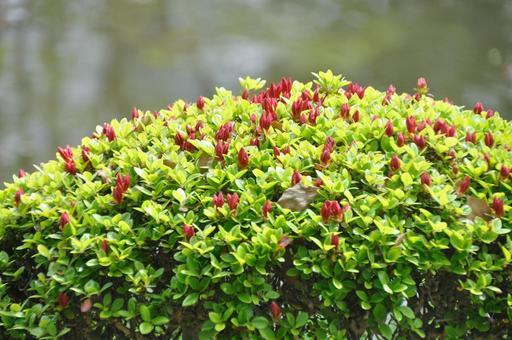 철쭉의 꽃 봉오리