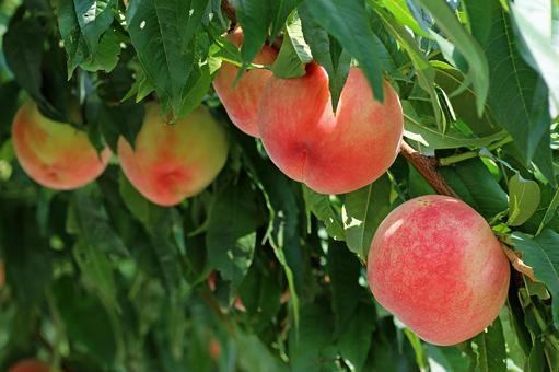 Fukushima peach 2021_06