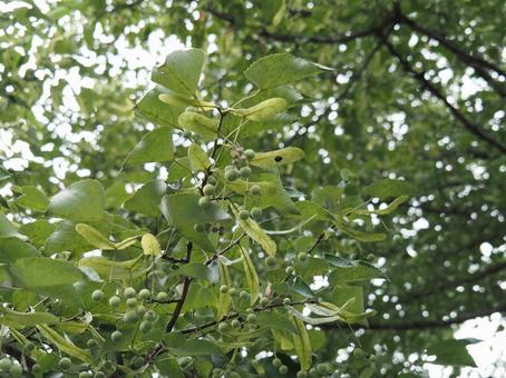 보리수 나무