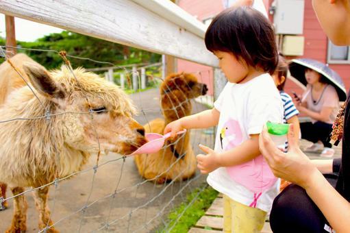 라마에게 먹이를주는 아이