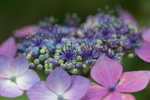 Small flowers of hydrangea
