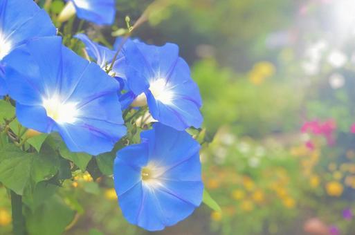 天藍色牽牛花牽牛花天藍色框架