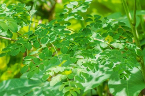 Mirringa, a miracle tree