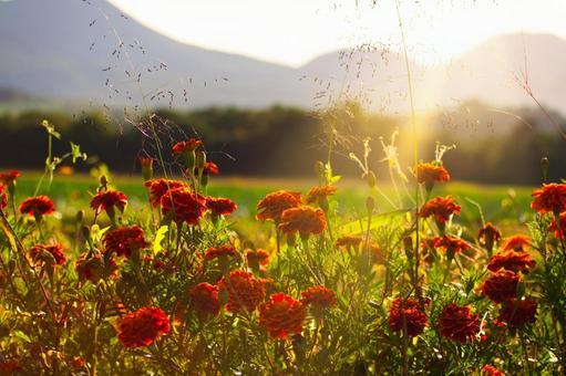 Marigold illuminated by the setting sun